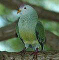 Atoll Fruit-dove (Ptilinopus coralensis) (cropped).jpg