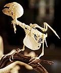 Augsburg Naturmuseum - bird skeleton.jpg