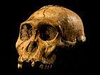 Australopithecus sediba.JPG