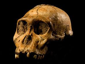 Australopithecus sediba,Kopf des Holotypus (Original)