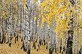 Autumn Birch Forest (129068501).jpeg