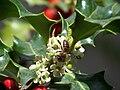 Aveja Chaqueta Amarilla ( Vespula Germanica) entre flores del Muerdago 100 0100.jpg