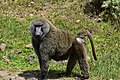 Baboon, Bale Mountains National Park (7) (29204380631).jpg