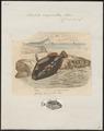 Balistes conspicillum - 1700-1880 - Print - Iconographia Zoologica - Special Collections University of Amsterdam - UBA01 IZ15400059.tif