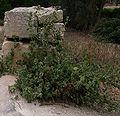 Ballota nigra uncinata Buskett Gardens Malta 01.jpg