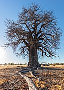 Baobab (Adansonia digitata), parque nacional Makgadikgadi Pans, Botsuana, 2018-07-30, DD 11.jpg