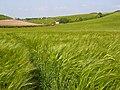 Barley, Chaldon Herring - geograph.org.uk - 848134.jpg