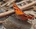 Baronet (Euthalia nais) in Kinnarsani WS, AP W IMG 5760.jpg