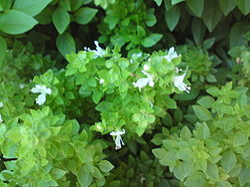 Basilikum (O. basilicum)