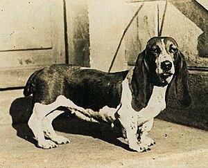 Basset Hound - An early 20th century basset-type hound