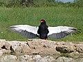Bateleur (Terathopius ecaudatus) male (6854281398).jpg