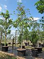 Bauhinia Tomentosa (St. Thomas Tree, Yellow Bauhinia) (28770918382).jpg