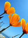 California poppies in the summer