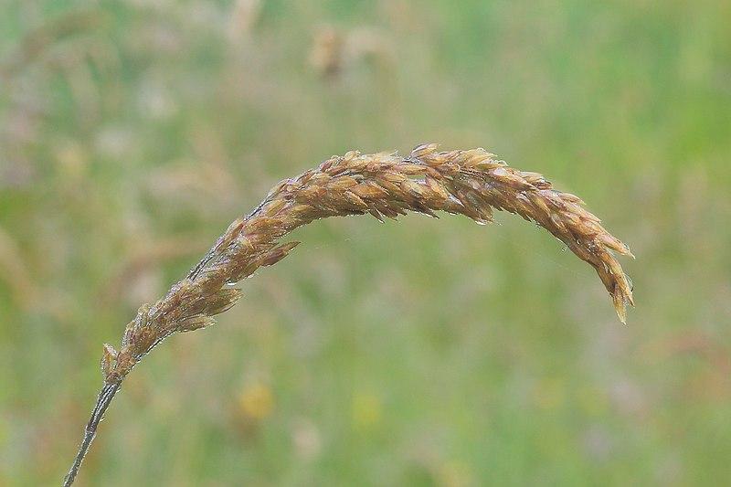 File:Bedauwde aar van een grashalm.JPG
