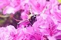 Bee (26999929345).jpg