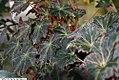 Begonia Moonstone 1zz.jpg