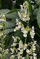 Begonia heracleifolia (fleurs).JPG