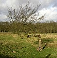 Bent tree, Draughton - geograph.org.uk - 677977.jpg