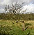 Bent tree, Draughton - geograph.org.uk - 677977.jpg