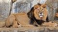 Berlin Tierpark Friedrichsfelde 12-2015 img17 Indian lion.jpg