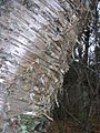 Betula alleghanensis 4 (5097506443).jpg