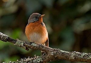 Kashmir flycatcher - Wintering in Ooty