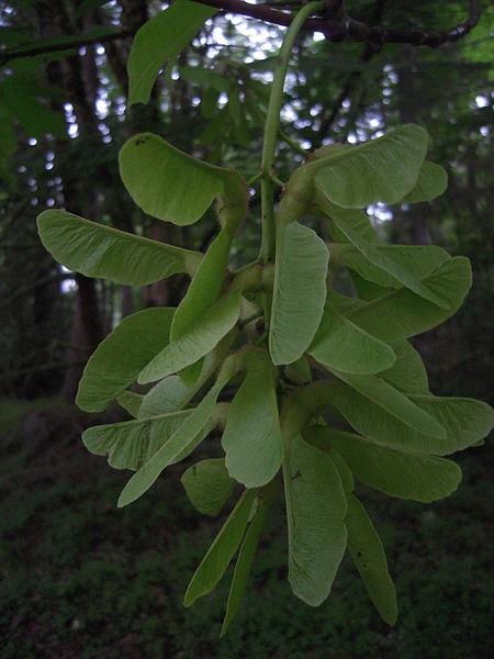 File:Bigleaf maple (Acer macrophyllum) -- young fruits.JPG