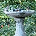 Bird Bath Waxwings and Robin (16037296879).jpg