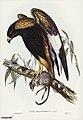 Bird illustration by Elizabeth Gould for Birds of Australia, digitally enhanced from rawpixel's own facsimile book20.jpg