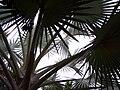 Bismarckia nobilis, fronds.jpg