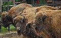 Bisonti at Berlin zoo-2 (2483446140).jpg