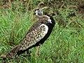 Black-bellied Bustard (Lissotis melanogaster) (6044810589).jpg
