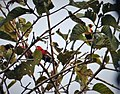 Black-capped Lory (Lorius lory) with Golden Mynah (Mino anais) (48750083642).jpg