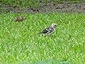 Black-collared Starling juvenile.jpg