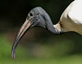 Black-headed Ibis (Threskiornis melanocephalus) W2 IMG 1431.jpg
