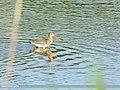 Black-tailed Godwit (Limosa limosa) (42986288935).jpg