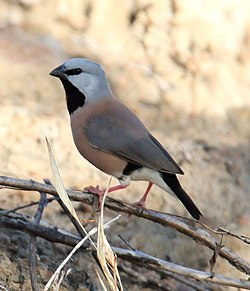 Black-throated Finch (Poephila cincta).jpg
