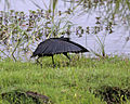 Black Heron (Egretta ardesiaca) 1.jpg