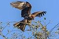 Black Kite landing.jpg