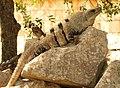 Black Spiny-tailed Iguana (16604205346).jpg