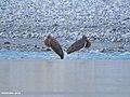 Black Stork (Ciconia nigra) (48051062326).jpg