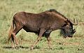 Black wildebeest, or white-tailed gnu, Connochaetes gnou at Krugersdorp Game Reserve, Gauteng, South Africa (31377808805).jpg