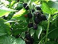 Blackberries near Erlangen 2.jpg