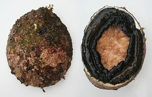 English: Blacklip abalone ( Haliotis rubra ), ...