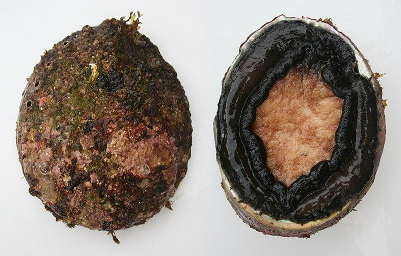 Blacklip abalone.jpg