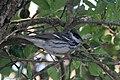 Blackpoll Warbler (male) Sabine Woods TX 2018-04-22 14-43-38 (41947570132).jpg