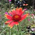 Blanketflower - Gaillardia aristata IMG 6056.jpg