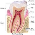 Blausen 0863 ToothAnatomy 02.png