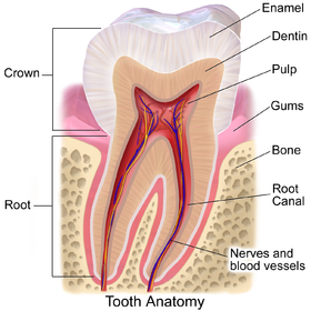 Parts of a tooth, including dentine