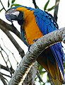Blue-and-yellow Macaw (Ara ararauna) (27728951833).jpg
